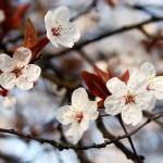 Cherry Plum - Flori Bach - Terapia Florala Bach by Raluca