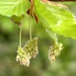 Beech - Flori Bach - Terapia Florala Bach by Raluca