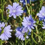 Chicory - Flori Bach - Terapia Florala Bach by Raluca