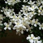 Clematis - Flori Bach - Terapia Florala Bach by Raluca
