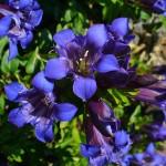Gentian - Flori Bach - Terapia Florala Bach by Raluca