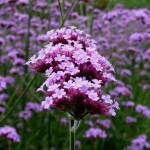 Vervain - Flori Bach - Terapia Florala Bach by Raluca