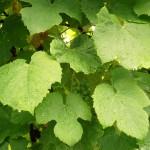 Vine - Flori Bach - Terapia Florala Bach by Raluca