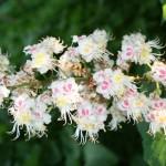 White Chestnut - Flori Bach - Terapia Florala Bach by Raluca