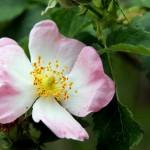 Wild Rose - Flori Bach - Terapia Florala Bach by Raluca